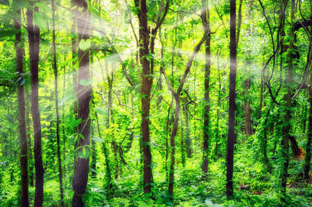 Sunlight shines through the natural forests of the trees, vines that cover the ground and trees. 写真素材