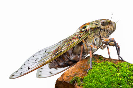 Large brown cicada on the rock isolated on white background. 写真素材