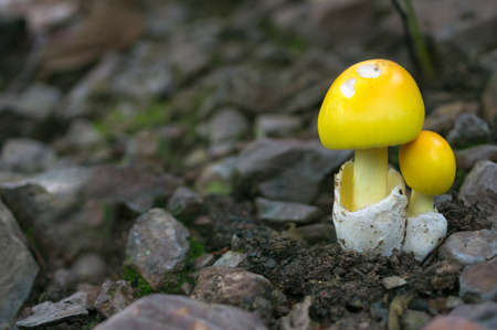 Mushrooms in the forest. Forest scenes. Summer. Edible White Mushrooms. Yellow Mushrooms. Ecotourism activities. Mushroom picking. 写真素材