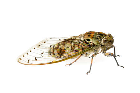 Large brown cicada isolated on white background.