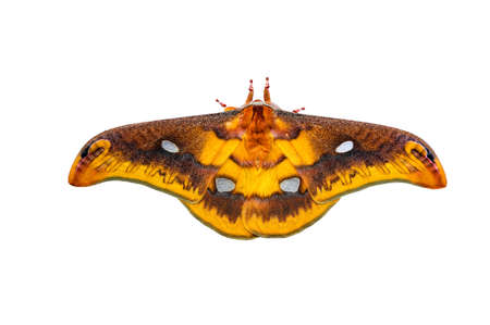 Giant moth, beautiful large butterfly brown, orange. Isolated on white background  with clipping path.