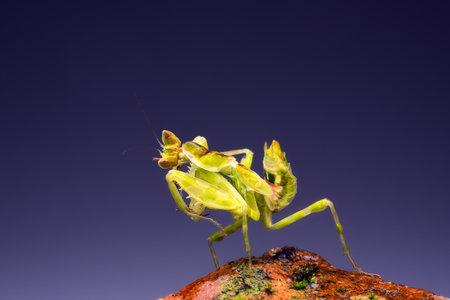 Praying mantis On the red rocks, Green praying mantis. 写真素材