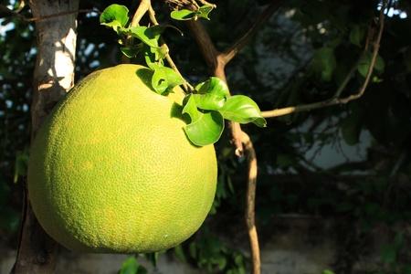 Grapefruit Stock Photo - 16939741