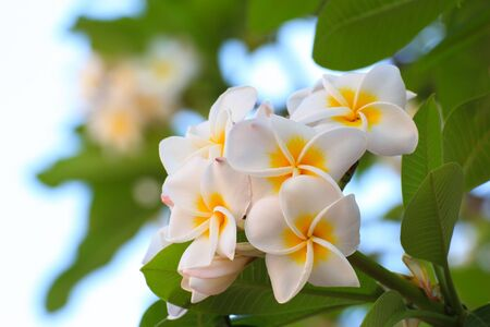 Tropical frangipani flowers photo