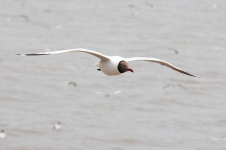 black headed: A Black headed Gull on flying Stock Photo