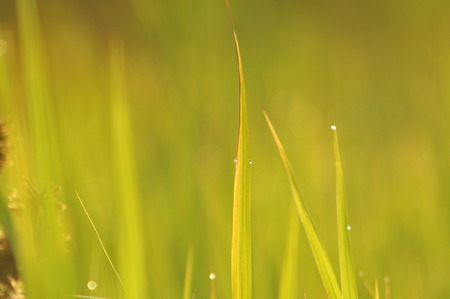 Dew on Fresh green grass with water drops in  in the morning Green Season. Beauty bokeh. Abstract blurry background. Nature background. Texture.Rice fields with good environment concept. copy space.
