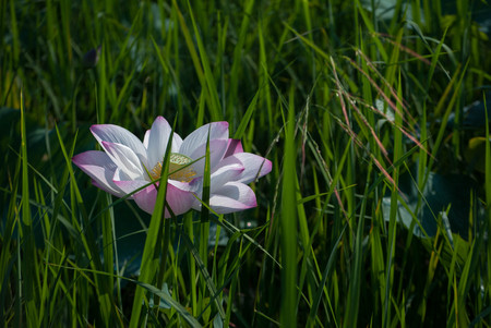 Close-up of lotus flower on the pond at sunny day.lotus flower has been admired as a sacred symbol.