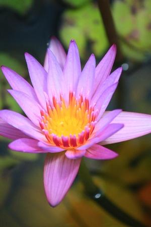 pink lotus: Pink lotus Stock Photo