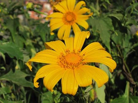 tong: Tong yellow lotus Stock Photo