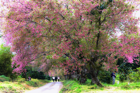 Spring cherry blossom at Khun wang National Park in Thailand Stock Photo