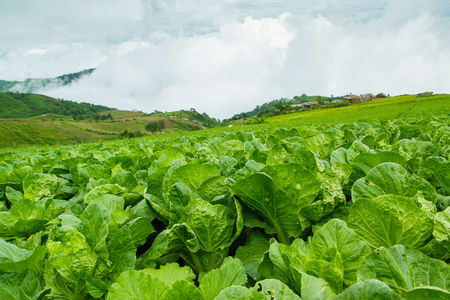 acreage: The largest and most beautiful Turnips Farm at Phetchabun Province in Thailand.
