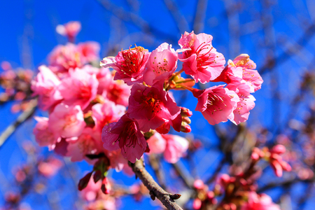 known: Prunus cerasoides,Wild Himalayan Cherry Also known as Sakura at Doi Ang Khang Chiang Mai Province in thailand.