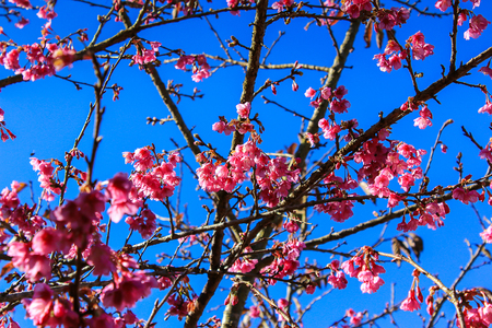 catchment: Prunus cerasoides,Wild Himalayan Cherry Also known as Sakura at Doi Ang Khang Chiang Mai Province in thailand.
