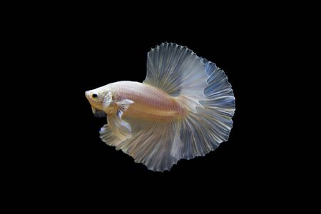 betta: Opaque White Betta Splenden