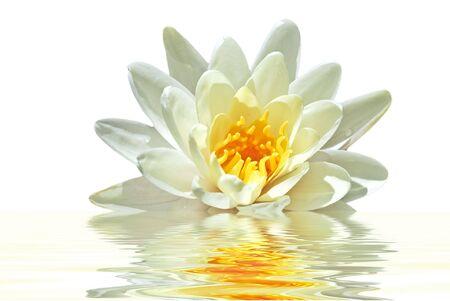 flor de loto: Blanco loto flotando en el agua