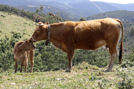 Mother cow with baby calf in the countryside photo