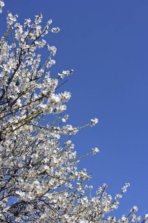 Blossoming almond flowers in springtime in Portugal photo