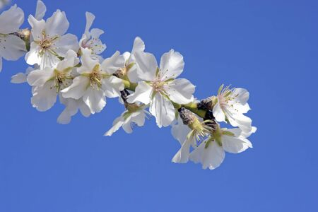 Blossoming almond flower against a blue sky photo