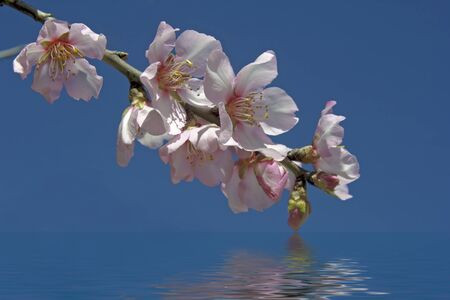 Blossoming almond flower in springtime in Portugal photo