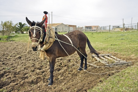 ploughing: Ploughing the land in an old fashioned way in Portugal  Stock Photo