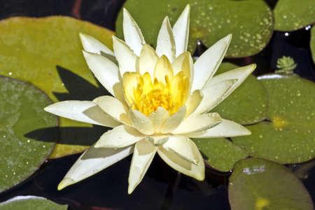 White lotus floating on water