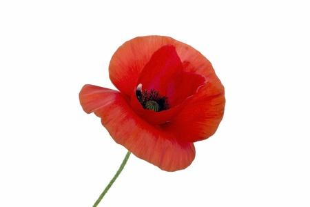 Wild poppy flower close up  Stock Photo