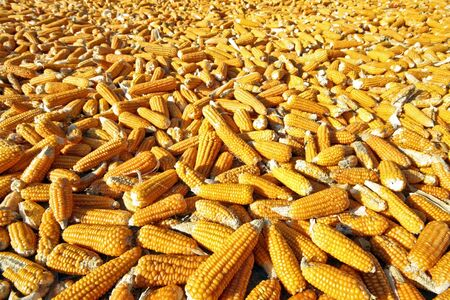 shucked: Corn ready for production