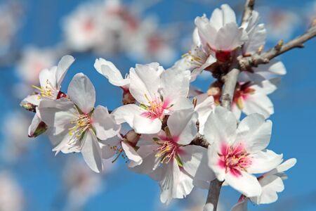 Rami di mandorle in fiore contro un cielo blu Archivio Fotografico