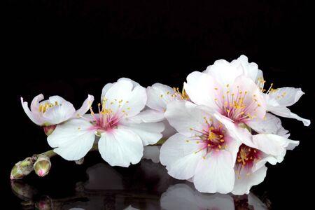 almond tree: blossoming almond flower