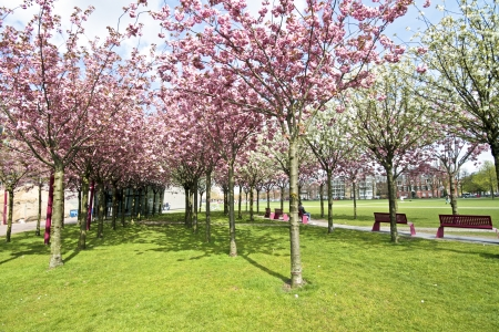 Japanese cherry trees blossoming in spring at the Museumplein in Amsterdam the Netherlands photo