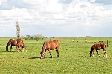Horses grazing in the countryside from the Netherlands photo