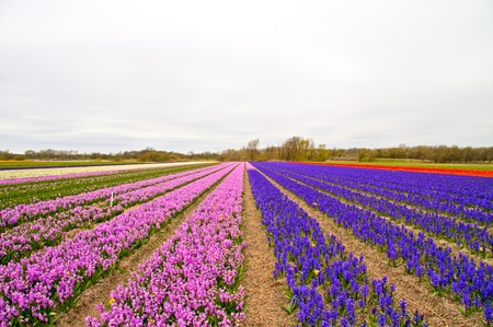 Tulip fields in the Netherlands in spring photo