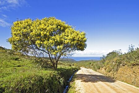 blossoming yellow flower tree: Blossoming mimosa tree and the atlantic ocean in springtime in Portugal