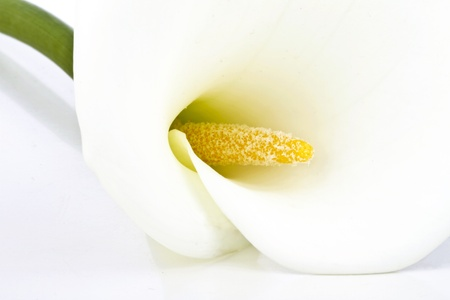 White calla lily close up photo