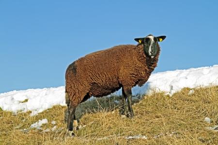 tortillera: Negro ovejas en el dique en el campo de los Pa�ses Bajos en invierno Foto de archivo