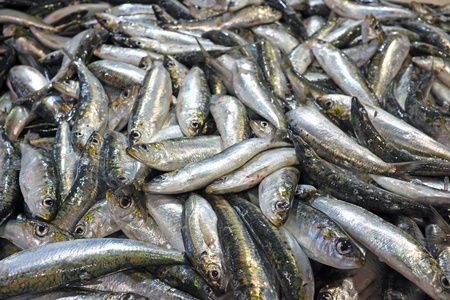 Fresh sardines in the fishmarket photo