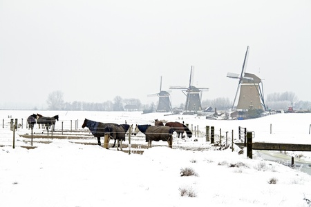 Horses in winter with traditional windmills in the Netherlands photo