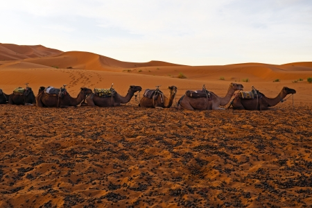 erg: Camels in the Erg Chebbi desert in Morocco Africa