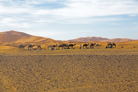 one humped: Camels in Sahara Desert Stock Photo