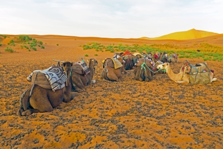 one humped: Camels in the Erg Chebbi desert in Morocco Africa