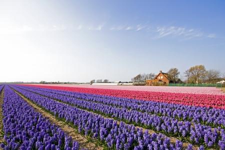 Kleurrijke voorjaar tulpenvelden in Nederland
