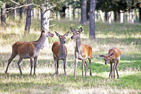 meadowland: Deers in the forest