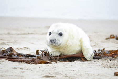 inquisitively: White grey baby seal  looks inquisitively at the beach with big opened eyes Stock Photo