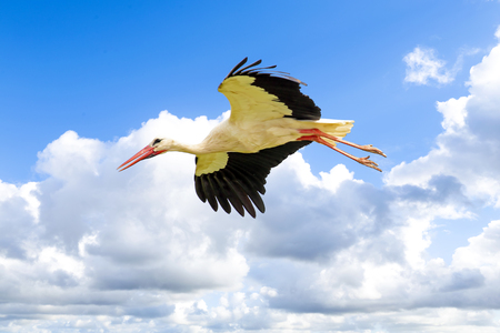 White stork in flight photo