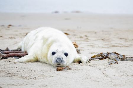 Baby Grijze zeehond (Halichoerus grypus) ontspannen op het strand