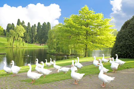 natue: Wild geese in the countryside from the Netherlands Stock Photo