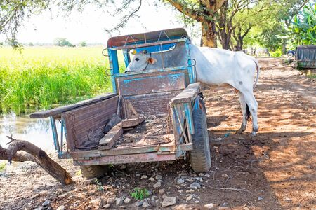 old truck: Cow in an old truck in the countryside from Myanmar Stock Photo