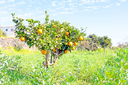orange grove: Orange grove in the countryside from Portugal