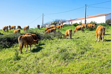 cattle breeding: Cows in the countryside from Portugal