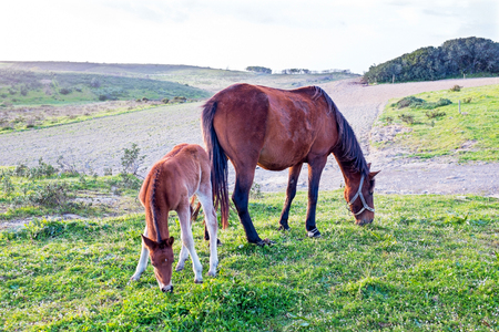 offshoot: Foal with a mare on a summer pasture Stock Photo